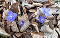 Hepatica nobilis in national natural monument Mednik (01).jpg