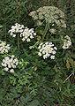 HeracleumSphondylium2.jpg