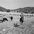 Herder te paard met kudde runderen in een heuvelachtig en boomrijk landschap, Bestanddeelnr 255-4628.jpg