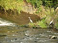Heron by the River Calder, Ledgard Bridge, Mirfield - geograph.org.uk - 968423.jpg