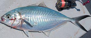 Herring scad species of fish
