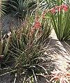 Hesperaloe parviflora HRM2.jpg