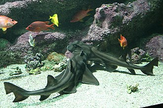 "Port Jackson shark - Two Port Jackson sharks, demonstrating ""harness"" feature"