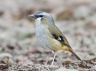 Australasian robin - Grey-headed robin (Heteromyias cinereifrons)
