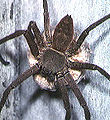 Heteropoda.venatoria.female.2.-.tanikawa.jpg