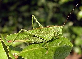Tettigoniinae subfamily of insects