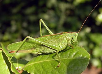 Grasshopper - Ensifera, like this great green bush-cricket Tettigonia viridissima, somewhat resemble grasshoppers but have over 20 segments in their antennae and different ovipositors.