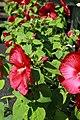 Hibiscus moscheutos Luna Red 2zz.jpg