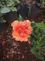 Hibiscus rosa-sinensis 3.jpg