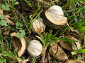 Hickory nuts.JPG
