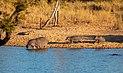 Hipopótamos comunes (Hippopotamus amphibius), parque nacional Kruger, Sudáfrica, 2018-07-24, DD 06.jpg