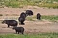 Hippo, Ruaha National Park (20) (28708927006).jpg