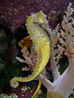 Barbours seahorse species of fish
