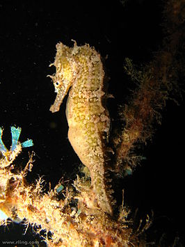Hippocampus whitei