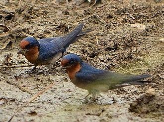 Pacific swallow - Image: Hirundo tahitica(9)
