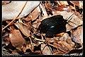 Histia flabellicornis (5404944874).jpg