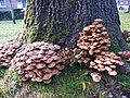 Honey Fungus (Armillaria mellea) (10872462724).jpg
