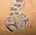 Horned desert viper (Cerastes cerastes), Israel 04.jpg