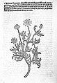 Hortus Sanitatis; camomile. Wellcome L0000934.jpg