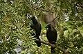 House crow (Corvus splendens) from Rollapadu Wildlife Sanctuary, Andhra JEG7049.jpg