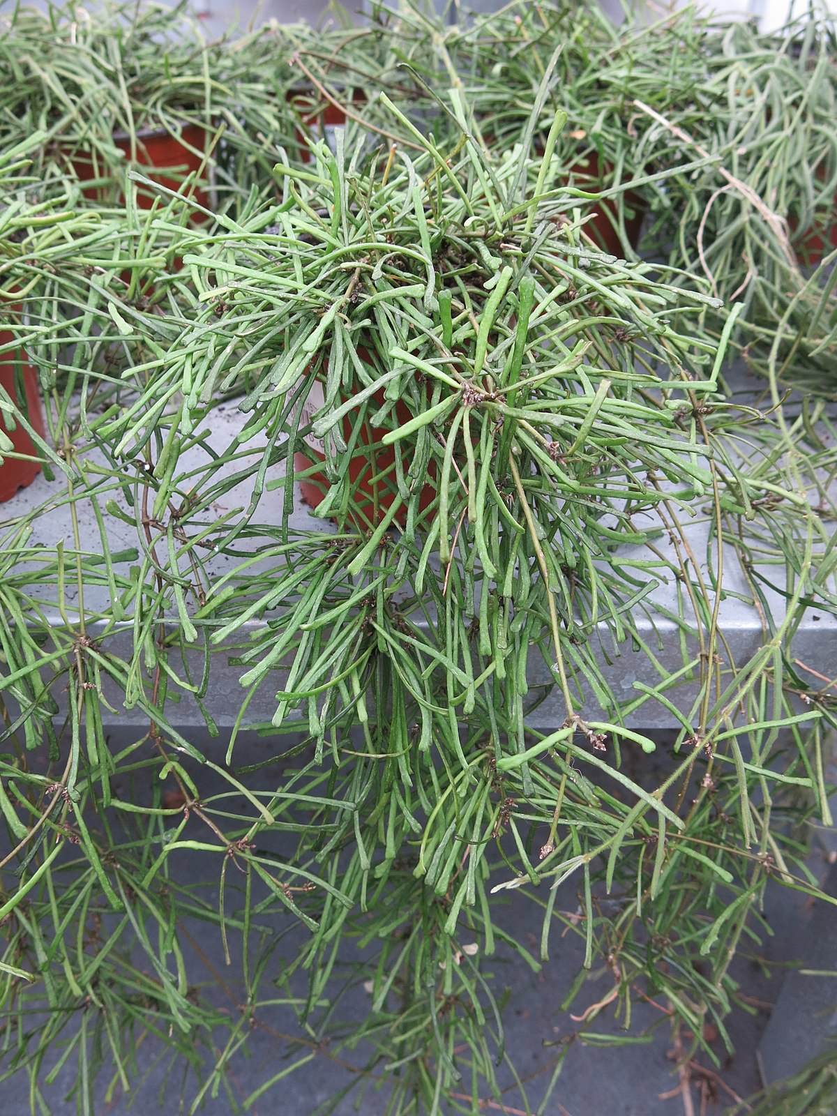 Hoya Retusa Wikispecies