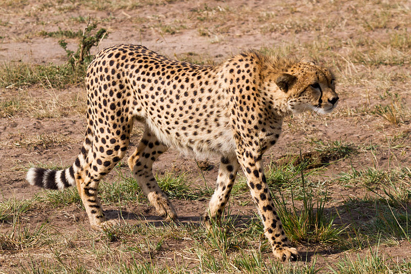 File:Hunting Cheetah.jpg