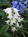Hyacinthoides hispanica albino.jpg