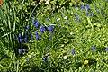 Hyacinths at Bonchurch Village Road pond.JPG