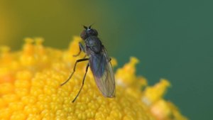 File:Hydrellia sp. on Tanacetum vulgare - 2012-08-03.ogv
