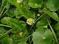 Hydrocotyle umbellata L. (AM AK318414-2).jpg