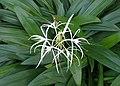 Hymenocallis caribaea kz04.jpg