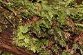 Hymenophyllum tunbrigense 01.JPG