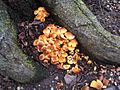 Hypholoma fasciculare - Kew 1.jpg