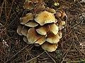 Hypholoma fasciculare 59822.jpg