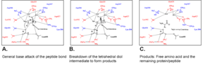 Leucyl aminopeptidase -  In this mechanism, the bicarbonate ion acts as a general base. For LAP-A, R1 could be the R group of leucine, methionine, or arginine.