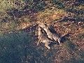 Iberian Wolf 03.jpg