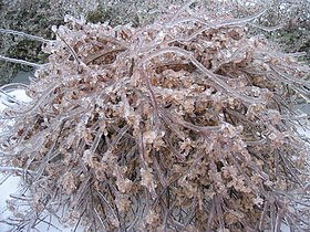 Ice Encased Bush in Winter.jpg