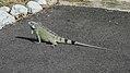 Iguana (30833450860).jpg