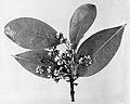 Ilex montana USDA.jpg