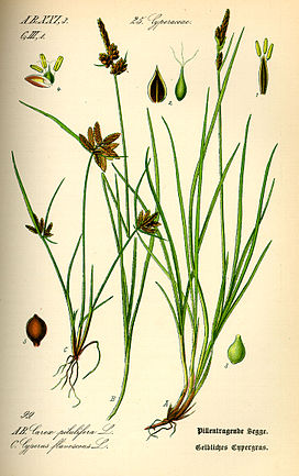 Illustration Carex pilulifera0.jpg