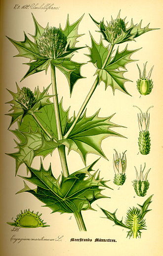 Eryngium maritimum - Botanical illustration