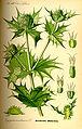 Illustration Eryngium maritimum0.jpg