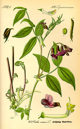 Illustration Lathyrus vernus0.jpg
