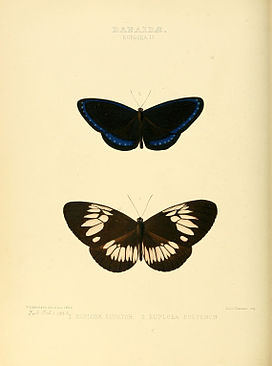 Illustrations of new species of exotic butterflies Euploea II.jpg