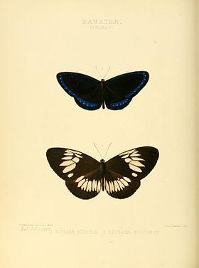 Illustrations of new species of exotic butterflies Euploea II.jpg