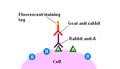 Immunohistochemicalstaining2.PNG