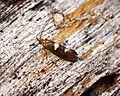 Incurvaria masculella - Flickr - Bennyboymothman.jpg