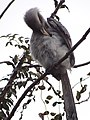 Indian Grey Hornbill - Ocyceros birostris - DSC04571.jpg