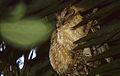 Indian Scops Owls (Otus bakkamoena) (20658455108).jpg