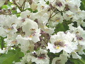 Trompetenbaum (Catalpa bignonioides)